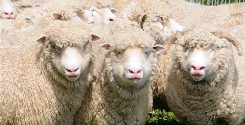 Intro to the Breed | Dorset Horn and Poll Dorset Sheep Breeder's